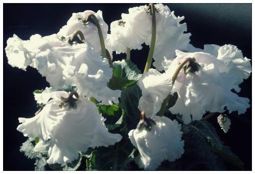 Махровые белые цветки цикломена похожи греческие одеяния.