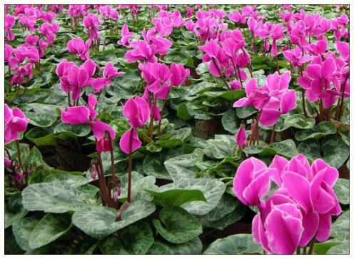 Цикламен — цветок с удивительными свойствами.