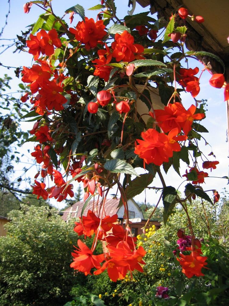Ампельная бегония привередливая. Летом она растёт у меня в земле, а к осени я пересаживаю её в горшки при продолжаю наслаждаться цветением.