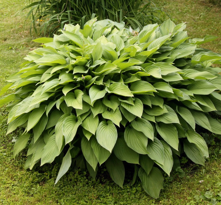 Хоста — сама красивая на моём дачном участке: радует не только вветами, но и листьями.