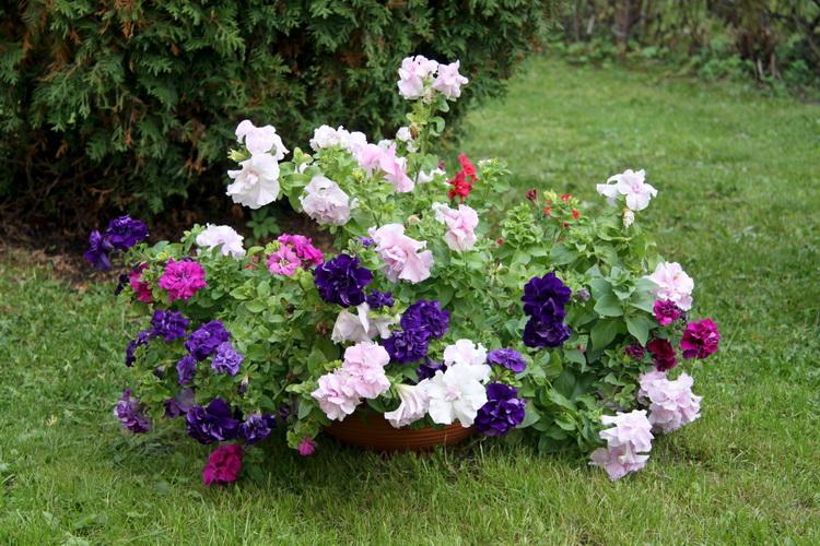 Семенами петунию не размножаю — покупаю рассду. Цветы разноцветные и приятно пахнут.