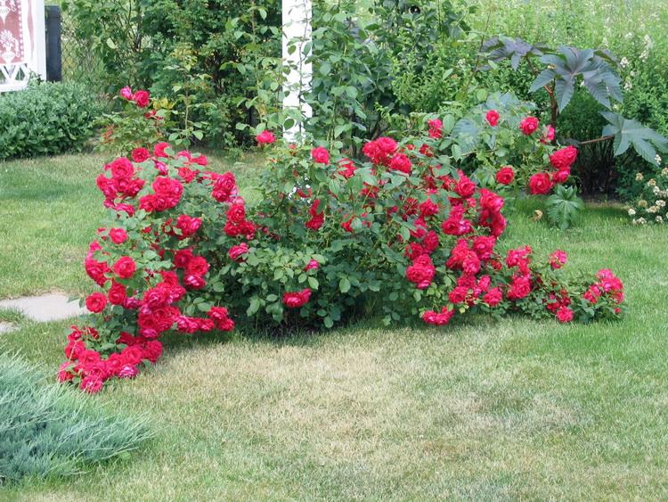 Роза цветёт не только летом, но и осенью, но в эти цветком много хлопот.