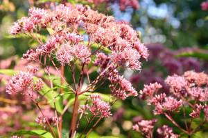 Посконник — красивый, но редкий цветок на российских дачных участках