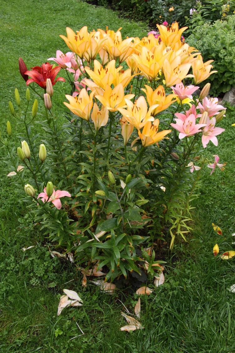 Сажаем лилии в июле 87