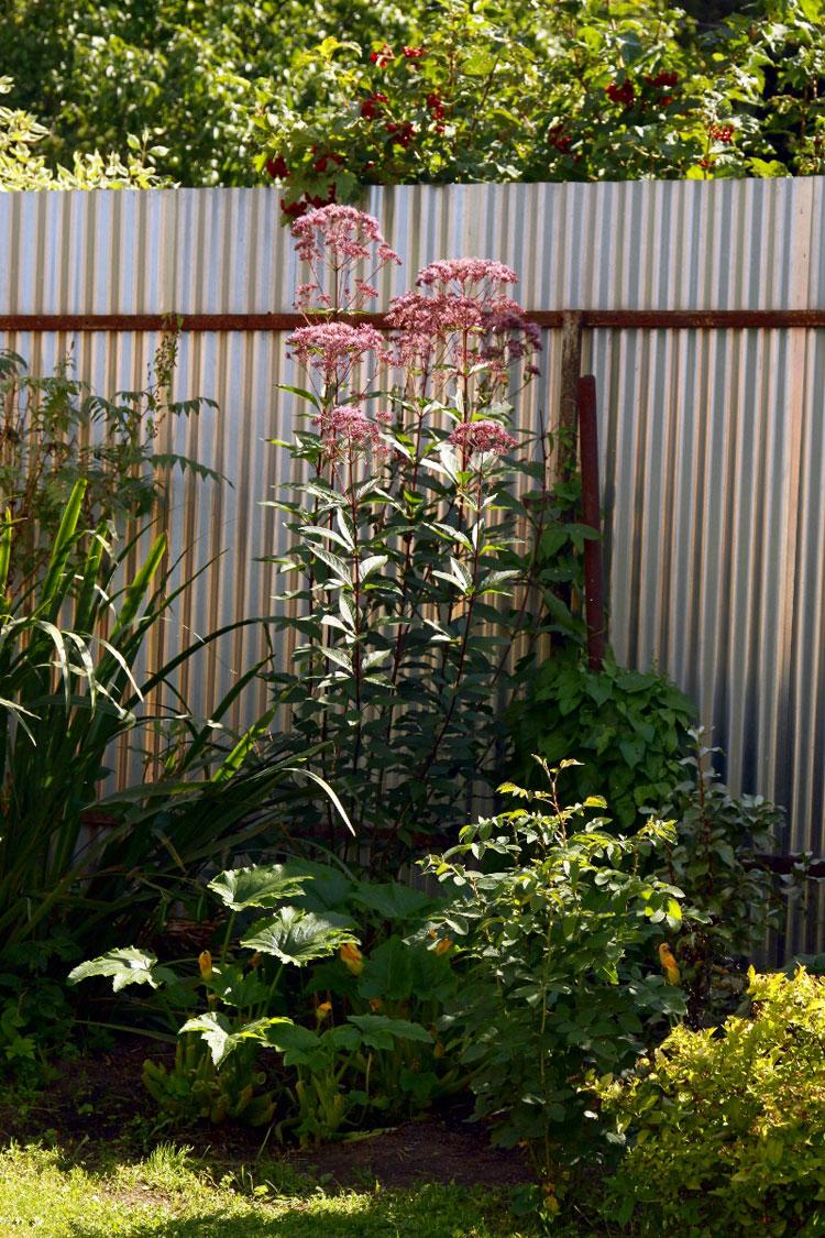 Растение высокое и многие сажают его на даче около забора.