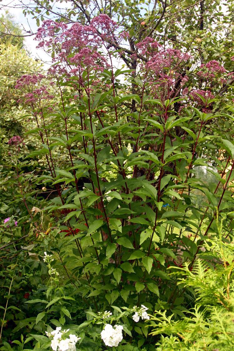 Выращивание посконника — посадка в саду и уход за цветком.