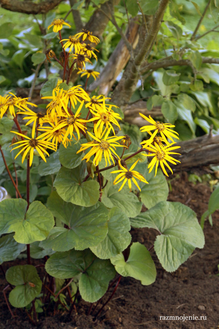Жёлтые цветки бузульника.