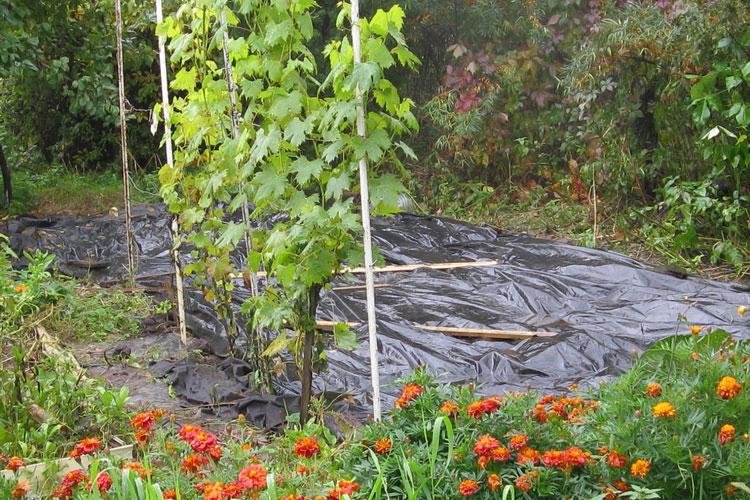Накрываем землю чёрной плёнкой до весны.
