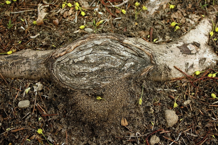 Высной на даче часто можно встретить вот такие гнёзда под корнями.