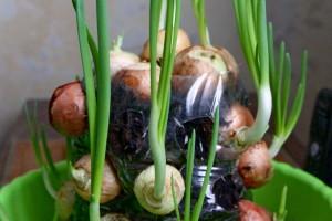 Выращиваем зелёный лук круглый год в пятилитровых пластиковых бутылках