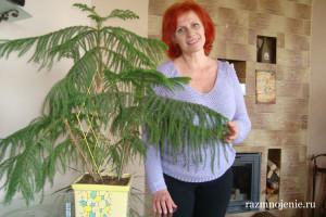 И вот она нарядная под Новый год пришла… Араукария — настоящее хвойное дерево