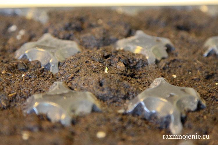 Выращивание петунии в таблетках.
