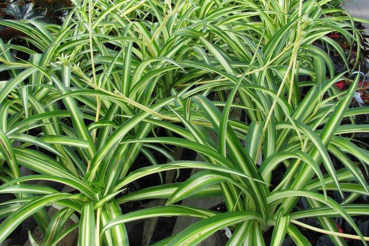 Хлорофитум в домашних условиях. Фото: flickr.com/Serres Fortier