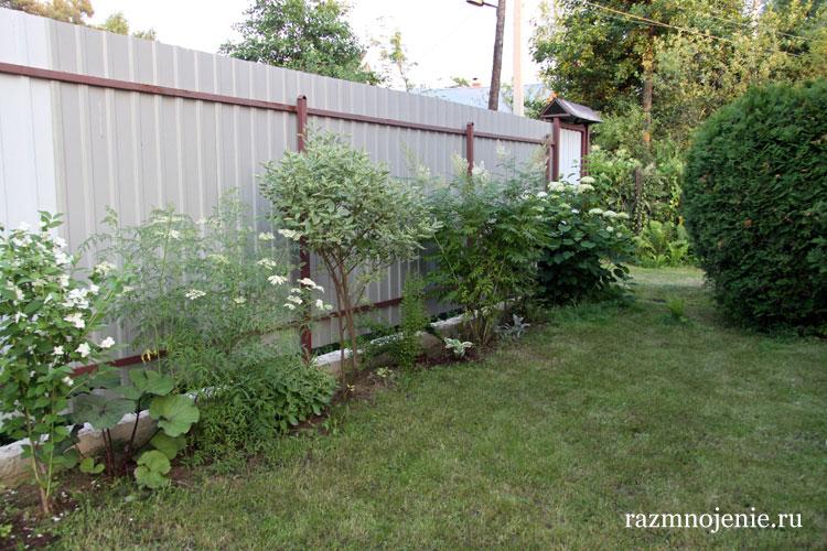 На фотографии — декоративные кустарники вдоль забора: жасмин, бузина, дёрен, рябинник, гортензия.