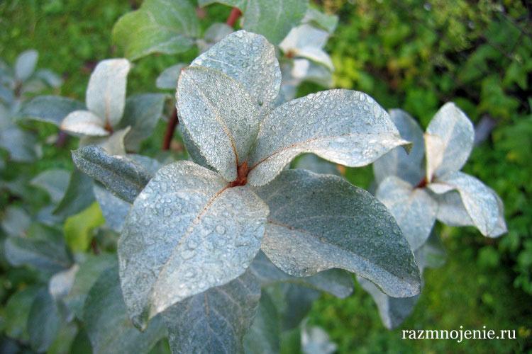 Листья серебристого лоха.