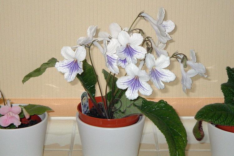 Белый стрептокарпус. Фото: flickr.com/89509548@N00