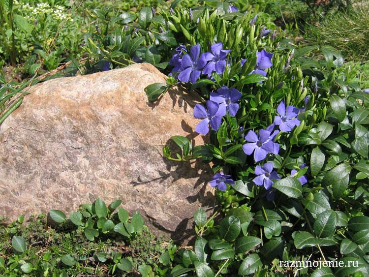 Барвинок — легко размножается и будет радовать с ранней весны.