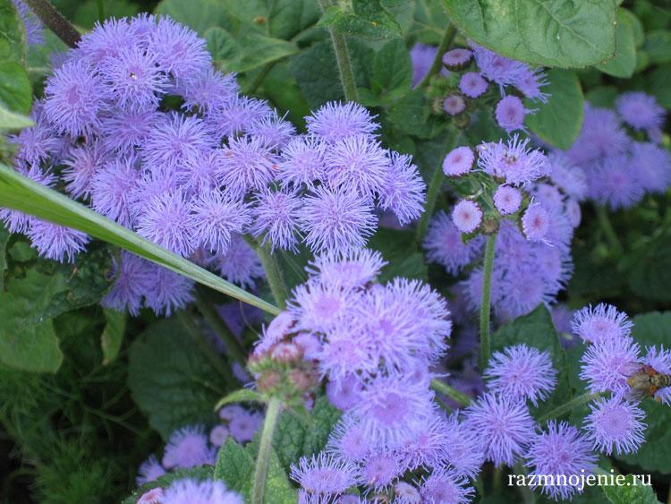 Цветок агератум.