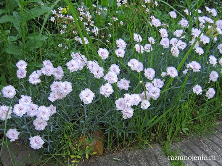 Гвоздика садовая миниатюрная.