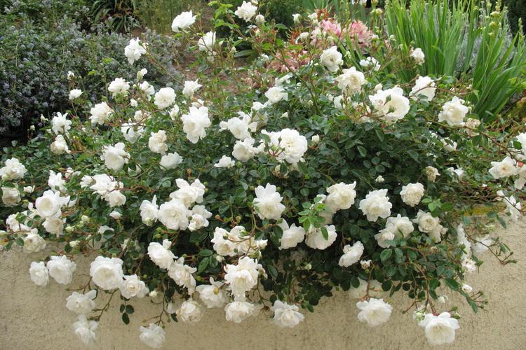Почвопокровные розы Snow Ballet.