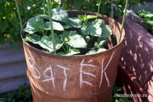Выращивание огурцов в бочках и мешках — от рассады до сбора урожая