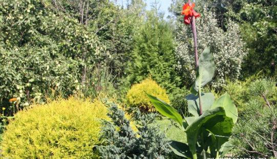 Канна — экзотический тропический цветок отлично прижился в Подмосковье
