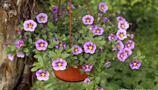 Калибрахоа — изысканное ампельное растение для дачных участков и балконов