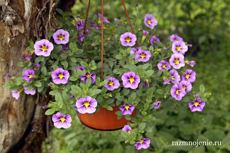 Цветок Калибрахоа — выращивание и уход.