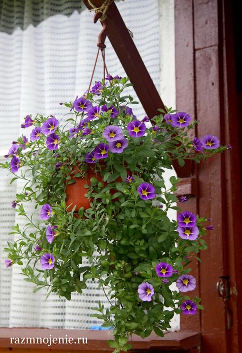 На фото цветение в конце лета, начале осени.