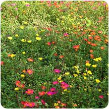 Аэлита — Мавританский газон.